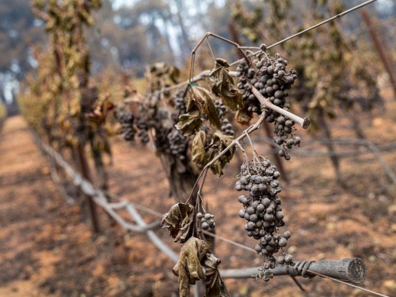 Produtores de vinho na Califórnia renunciam à safra de 2020
