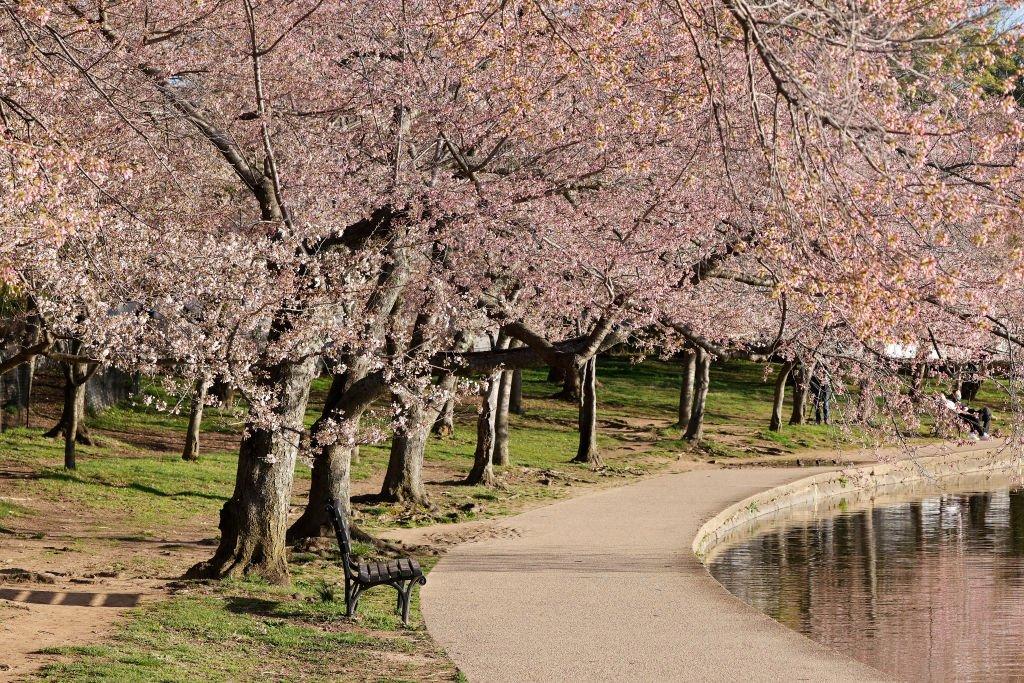 Cerejeiras em flor em Washington