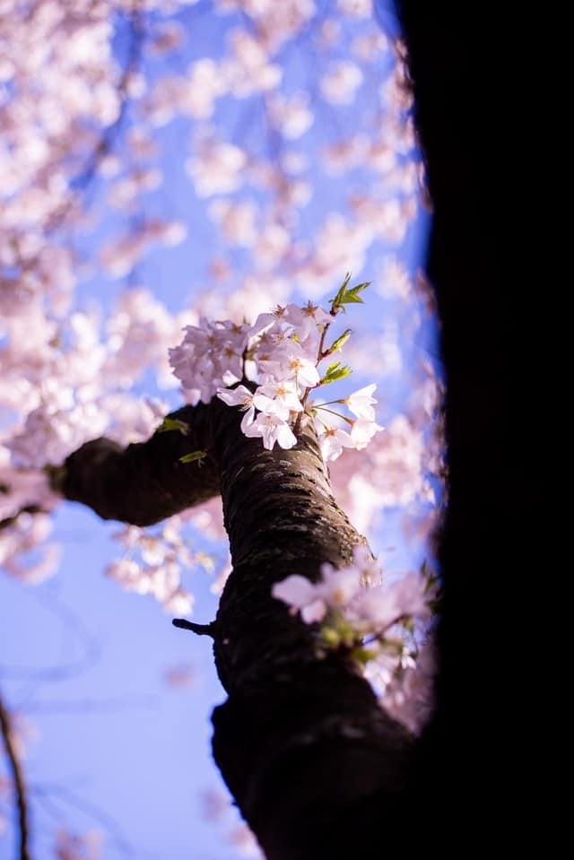 Para inspirar: Cerejeiras em flor em Washinton DC